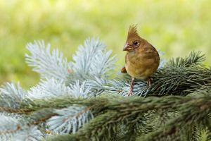 Juvenile Cardinal by Jay-Co