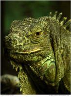 Green Iguana by In-the-picture