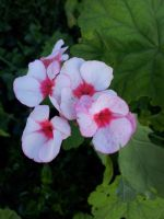 Possible a geranium or the one that starts with p by hermitsrme