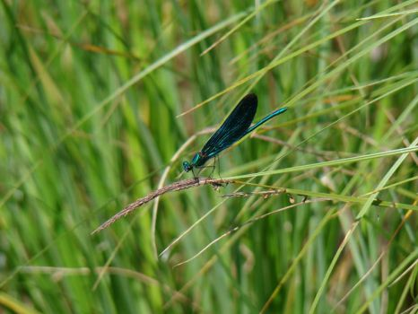 dragonfly by Tarcall