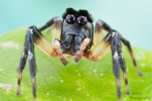 Jumping spider by ColinHuttonPhoto