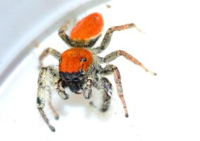 Phidippus whitmani 1 by pitbulllady