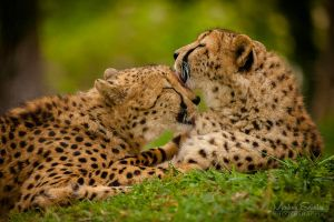 Cheetah Spring Love by spike83