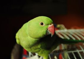 ciro (my parrot's name) by claris-tomatoecat