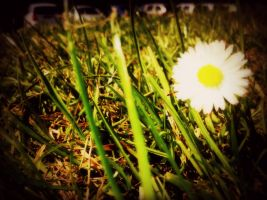 Summer Day - Daisy by AmieLouisePhotograph