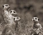 meerkat family sepia by 30-noir