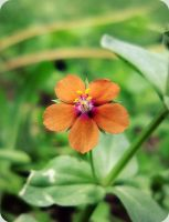 Scarlet Pimpernel by AcceptedOutcast