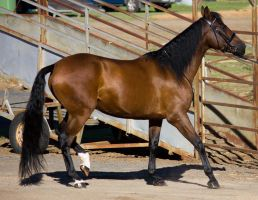 STOCK - 2014 Andalusian Nationals-10 by fillyrox