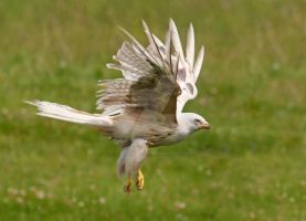 White lightning - leucistic red kite by Jamie-MacArthur