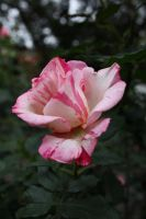 The Pink and White Rose by Makki-Summer