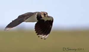Lapwing by Slinky-2012