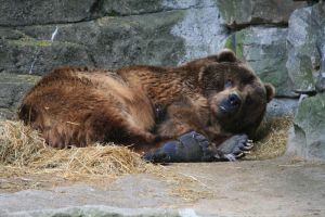 Grizzly Bear 5 by FantasyDesignStock2
