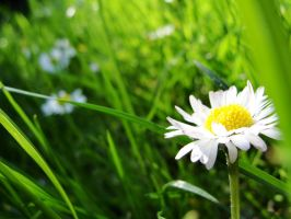 daisies. by canadian-beauty