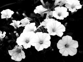 white trumpets by PhotographyByKendra