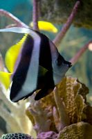 Butterflyfish by xXCold-FireXx