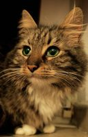 Maine Coon Portrait by LeaHenning