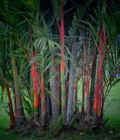 Red Bamboo by jennystokes