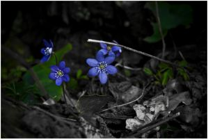 Kind Of BW Hepatica by MKlver