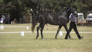 Dark Grey Andalusian Stallion walking by wildbrumby