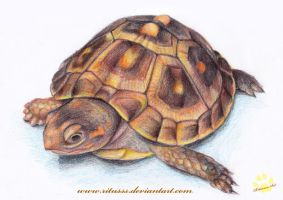 turtle by Ritusss