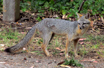 Gray Fox by xRuffian