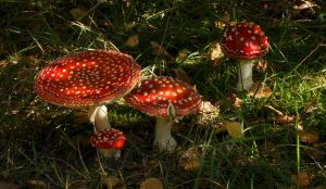 Various Stages and Sizes Fly Agaric by Danimatie
