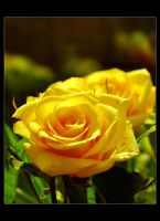 Spring Roses by Forestina-Fotos