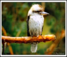 Laughing kookaburra by Phototubby