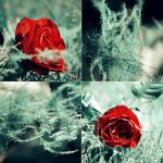 red rose by 6Artificial6