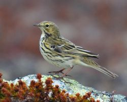 Meadow Pipit II by nordfold