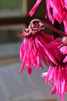 dying flower pink by MLeighS