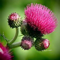 Cirsium-Rivulare by hold-steady
