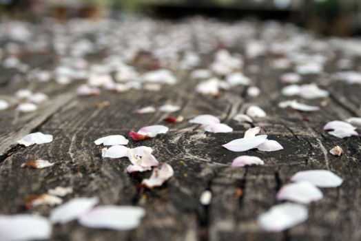 scattered cherry blossoms by fayedilion