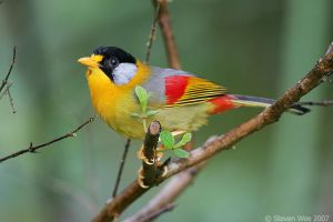 Silver-eared mesia by garion