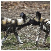 African Wild Dog - Pups 009 by ShineOverShadow