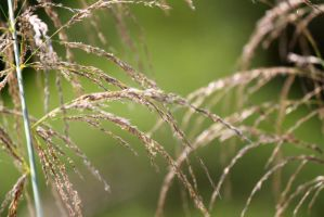 texture of Reed by johnchan