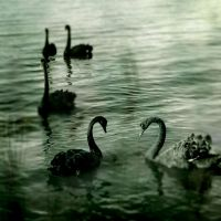 Black Swans by whazzupman