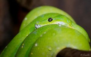 Green Tree Python by Enalla