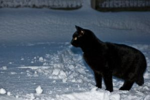 Cat in snow by Quinnphotostock