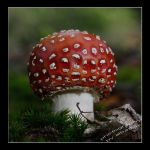 fly agaric by albatros1