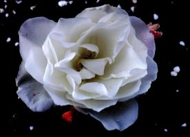 white rose by IamNasher