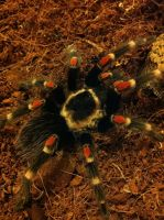 Mexican Flame Knee Tarantula (16) by emmys-stock