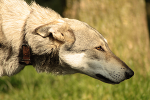 Wolfdog stock 5 by Bundy-Stock