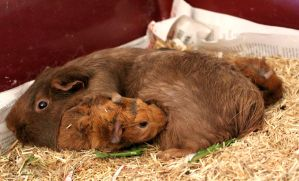 mother and baby guinea pig by jenneke13