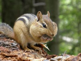 Chipmunk 3 by 8TwilightAngel8