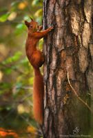 ...Red squirrel... by canismaioris
