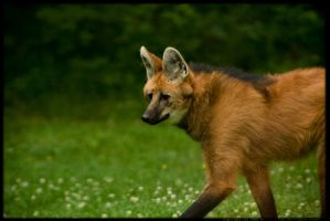 Maned Wolf Portrait by lillereven