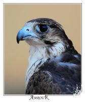 Falcon- portrait by AMROU-A
