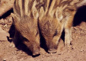 young wild boars 2 by cloe-patra