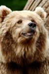 Bear by Bloddroppe-nature